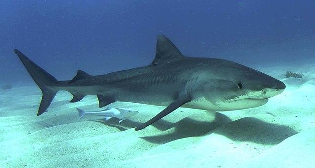 Акула Источник https://commons.wikimedia.org/w/index.php?curid=6758553
